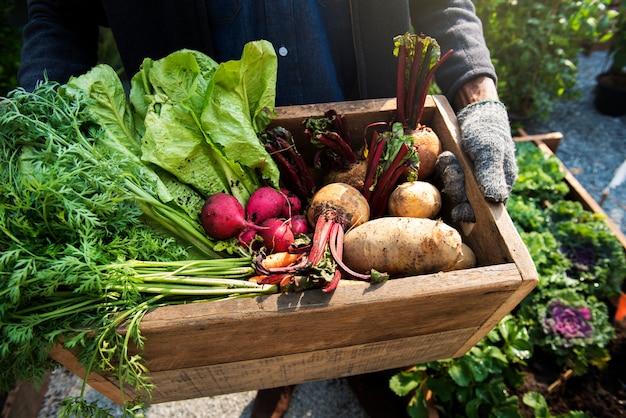 Gärtner mit biologischem frischem landwirtschaftlichem produkt