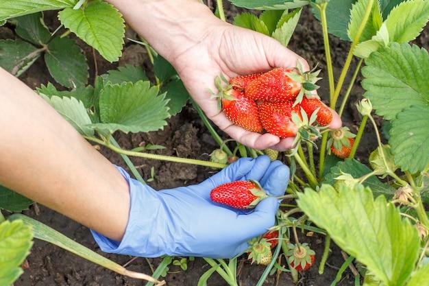 Gärtner pflückt frische rote reife erdbeeren auf dem bett und legt sie auf ihre handfläche. beerenernte im sommer im garten
