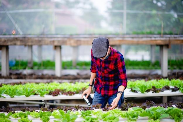 Gärtner salatmänner betrachten sie den salat in seinem garten konzept der herstellung von gesunden gemüsegärten