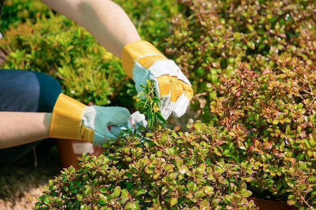 Gärtner wächst pflanzen in töpfen im gewächshaus. hände des gärtners, der zweige mit gartenschere nahaufnahme schießt. gartenberufskonzept
