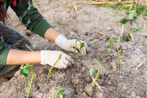 Gärtnerfrau, die süßkartoffeln in ihrem garten wächst