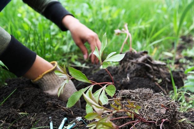 Gärtnerhände pflanzen pfingstrosen. frühling gartenarbeitskonzept