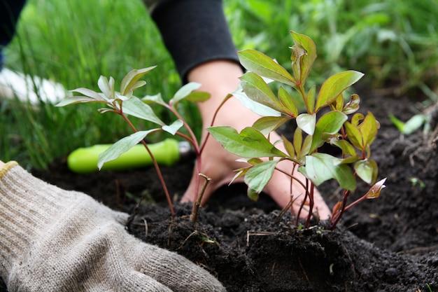 Gärtnerhände pflanzen pfingstrosen. frühlingsgarten-konzept