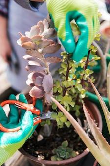 Gärtnerhand in handschuhen, die die pflanze mit gartenscheren beschneiden