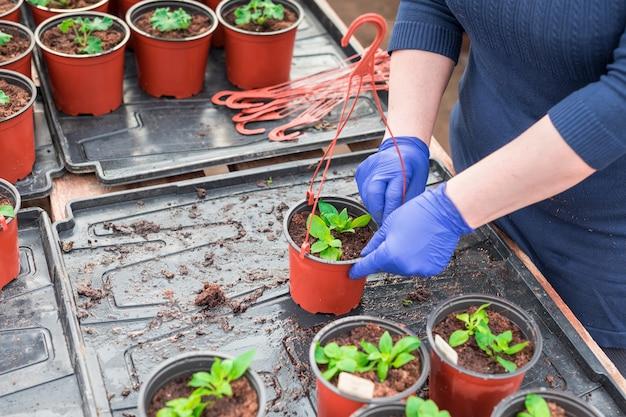 Gärtnerin, die petuniensämlinge in hängende töpfe pflanzt