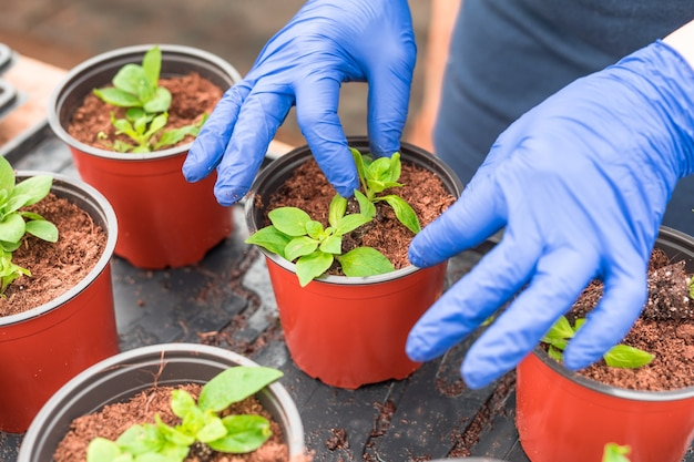 Gärtnerin, die petuniensämlinge in pflanzentöpfe umpflanzt