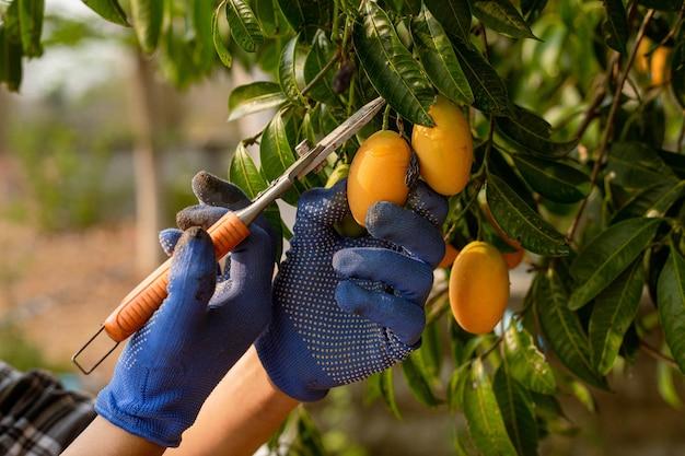 Gärtnerisches konzept ein bauer, der den nachwuchs sammelt, indem er die nachgefragten teile der pflanzen abschneidet.