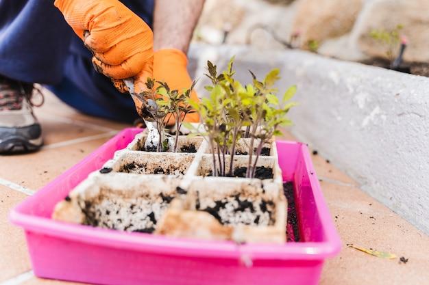 Gärtnermännerhände, die tomatensämlinge hinterhof im garten pflanzen