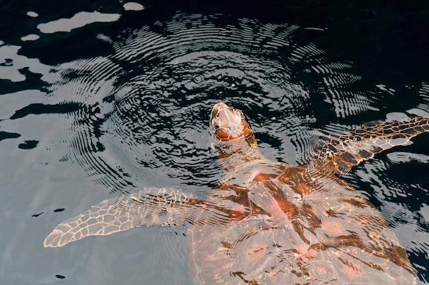 Galapagos-grüne schildkröte (chelonia mydas agassisi), puerto egas, santiago-insel, galapagos-inseln, ecuador