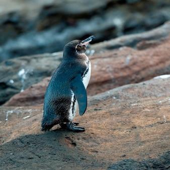 Galapagos-pinguin (spheniscus-mendiculus), tagus-bucht, isabela-insel, galapagos-inseln, ecuador