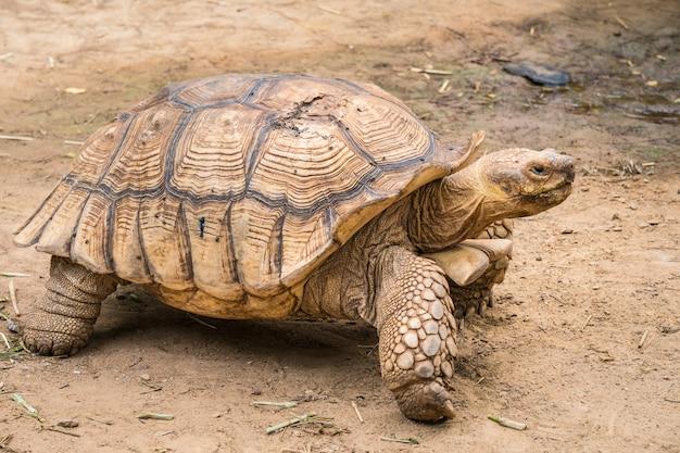 Galapagos-schildkröte in bewegung ist ein tier, das auf den galapagosinseln lebt.