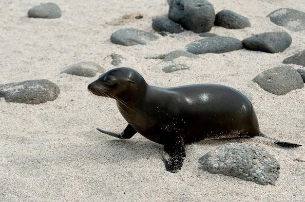Galapagos-seelöwe (zalophus-californianus wollebacki), nord-seymour-insel, galapagos-inseln, ecuador