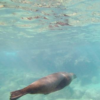 Galapagos-seelöwe (zalophus-californianus-wollebacki) schwimmend unter wasser, bartolome-insel, galapagos-inseln, ecuador