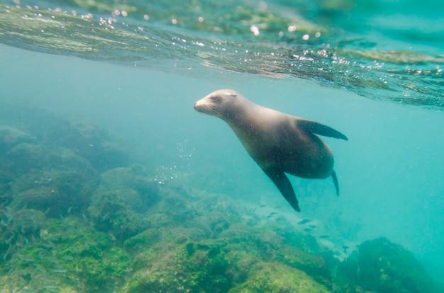 Galapagos-seelöwe (zalophus-californianus-wollebacki) unter wasser schwimmend, insel san cristobal, galapagos-inseln, ecuador