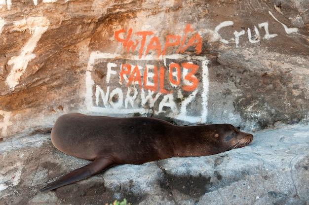 Galapagos-seelöwe (zalophus-californianus-wollebacki) vor graffiti bedeckte felsen, tagus-bucht, isabela-insel, galapagos-inseln, ecuador