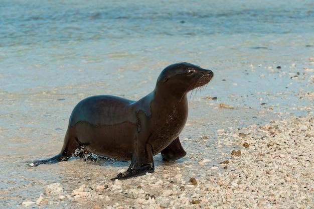 Galapagos-seelöwe (zalophus-californianus wolllebacki) auf dem strand, darwin-bucht, genovesa-insel, galapagos-inseln, ecuador