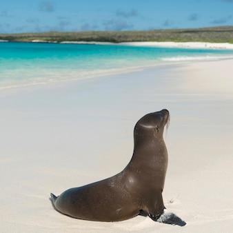 Galapagos-seelöwe (zalophus-californianus wolllebacki) auf dem strand, gardner-bucht, espanola-insel, galapagos-inseln, ecuador