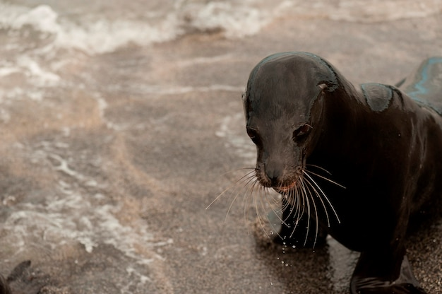Galapagos-seelöwe (zalophus-californianus wolllebacki) auf dem strand, punta espinoza, fernandina-insel, ecuador