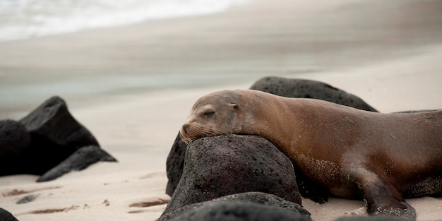 Galapagos-seelöwe (zalophus-californianus wolllebacki) mit vulkanischen felsen, playa ochoa, san cristobal-insel, galapagos-inseln, ecuador