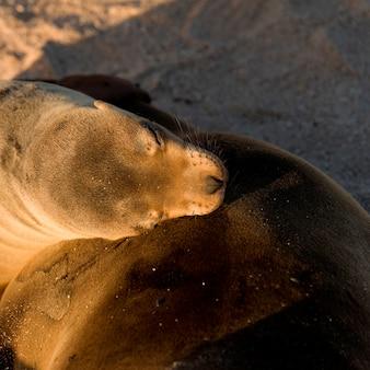 Galapagos-seelöwe (zalophus-kalifornianus-wollebacki), punta suarez, espanola-insel, galapagos-inseln, ecuador