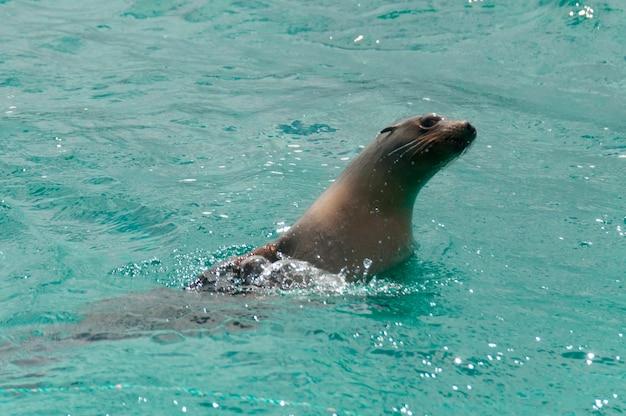 Galapagos-seelöwen (zalophus-californianus wollebacki), insel san cristobal, galapagos-inseln, ecuador