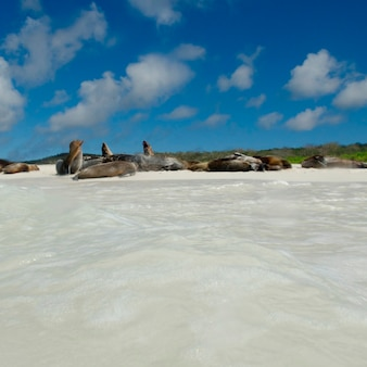 Galapagos-seelöwen (zalophus-californianus-wollebacki) stillstehend auf dem strand, san cristobal-insel, galapagos-inseln, ecuador