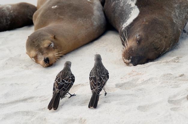 Galapagos-spottdrosseln (nesomimus parvulus) und galapagos-seelöwen (zalophus californianus wollebacki), gardner-bucht, espanola-insel, galapagos-inseln, ecuador