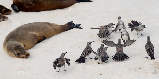 Galapagos-spottdrosseln (nesomimus parvulus) und galapagos-seelöwen (zalophus californianus wolllebacki) auf dem strand, gardner-bucht, espanola-insel, galapagos-inseln, ecuador