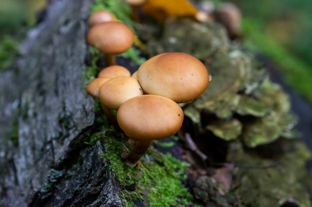 Galerina marginata ist ein tödlicher giftpilz, oktober