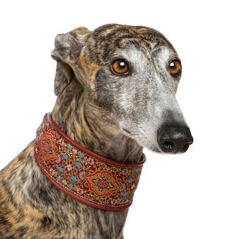 Galgo espanol mit 4 jahren. hundeporträt isoliert