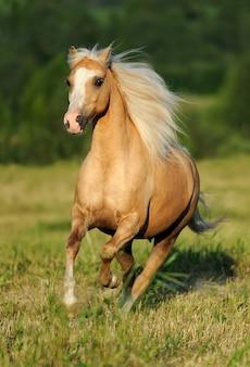 Galoppierendes gelbes pferd