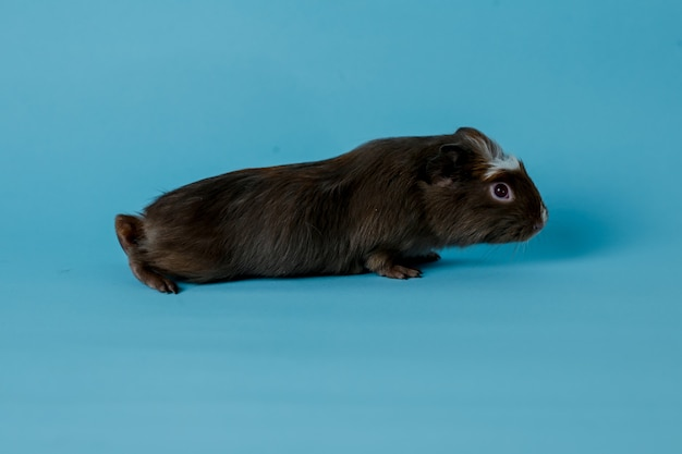 Ganzkörperfoto von meerschweinchen premium photo