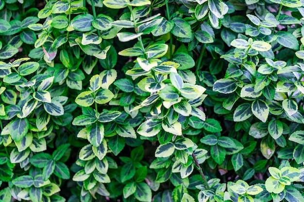 Garten-euonymus bunt. eine art euonymus. gartenarbeit, landschaftsbau. sonniger tag. natürlicher hintergrund.