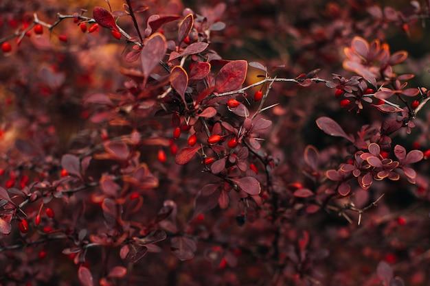 Garten herbstliche rote frische baumblätter und wilde beeren natürlicher hintergrund herbstsaison