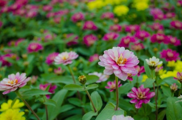 Garten mit rosa zinniablumen