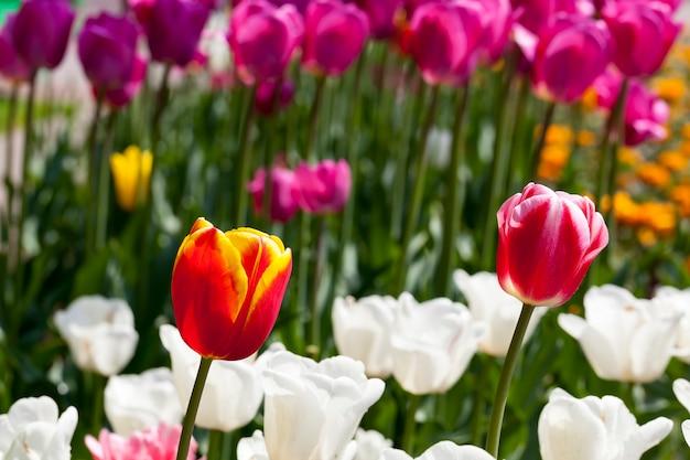 Garten mit tulpen in der sommersaison, viele tulpenblumen für die gartendekoration