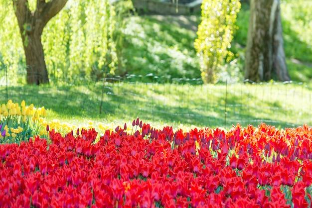 Garten mit vielen roten tulpen im grünen park