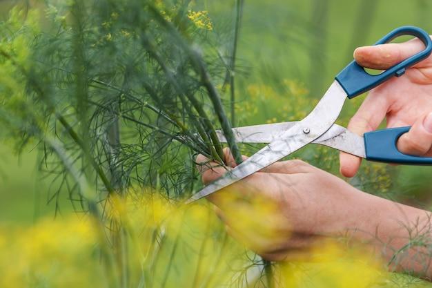 Garten- und landwirtschaftskonzept. weibliche landarbeiterhand, die grünen frischen reifen organischen dill im gartenbett erntet. vegane vegetarische einheimische lebensmittelproduktion.