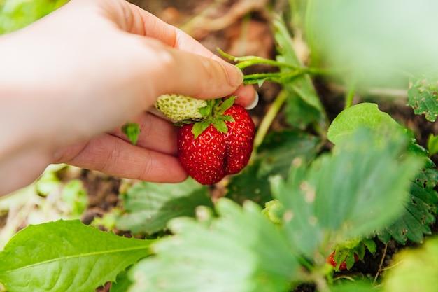 Garten- und landwirtschaftskonzept. weibliche landarbeiterhand, die rote frische reife organische erdbeere im garten erntet.
