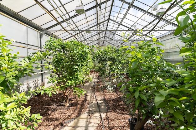 Garten wächst in gewächshaus exotischen obstbäumen im gewächshaus landwirtschaft und gartenbau