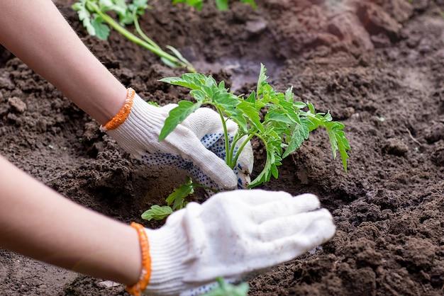 Gartenarbeit mit setzlingen