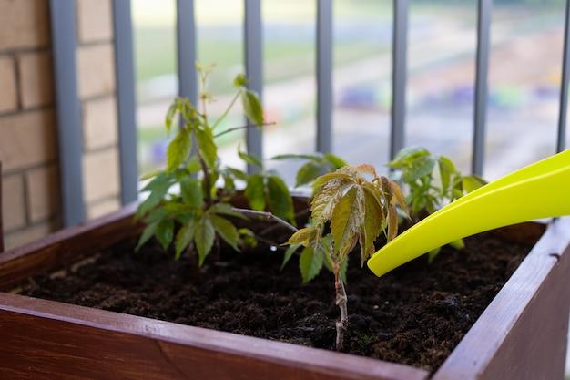 Gartenarbeit und gartenbau. wachsende mädchenhafte trauben in einer kiste auf einer terrasse in der stadt.