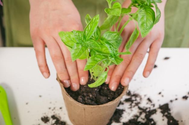 Gartenarbeit, zu hause pflanzen. frau, die sprössling houseplant verlagert