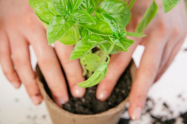 Gartenarbeit, zu hause pflanzend frau, die sprössling houseplant verlagert
