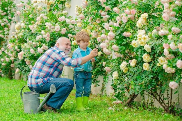 Gartenarbeitsgroßvatergärtner im sonnigen garten, der rosen pflanzt, glücklicher großvater mit seinem enkel w...
