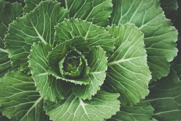 Gartenbau gemüseanbau, bio-kohlanbau