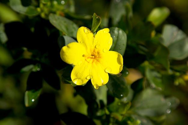 Gartenblumen, gelb blühender jasmin. auf einem ast mit üppigem laub. früher frühling