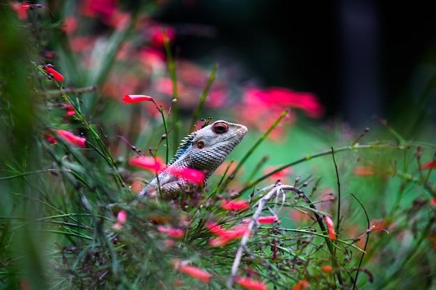 Garteneidechse oder auch bekannt als orientalische pflanzeneidechse auf dem zweig einer pflanze