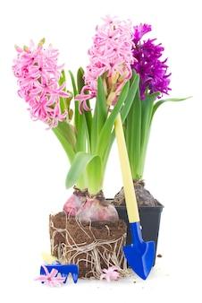 Gartengeräte mit rosa und violetten hyazinthenblumen lokalisiert auf weißem hintergrund