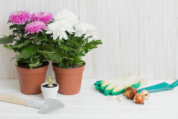 Gartengeräte und chrysantheme auf weißem holztisch